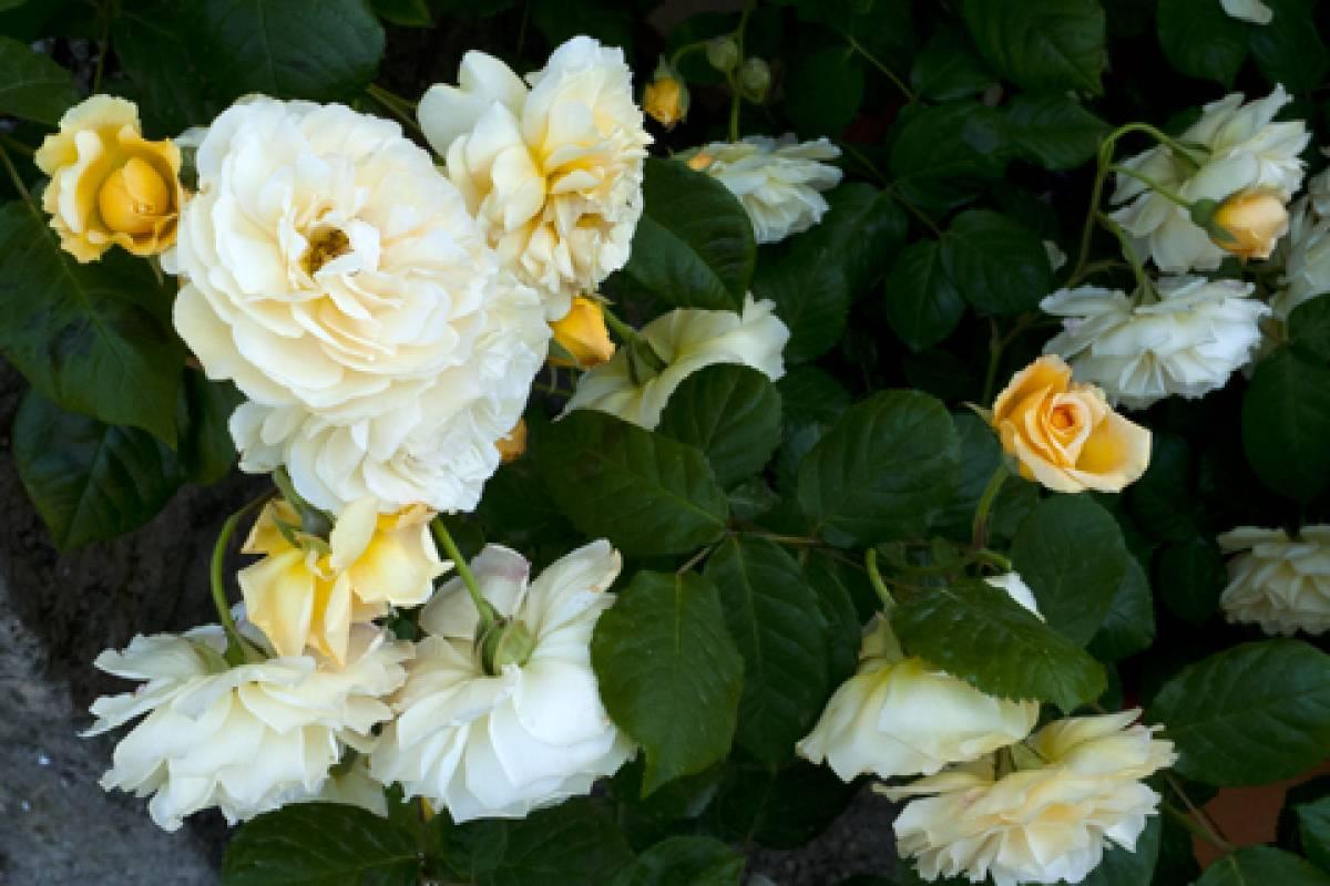Offerta Maggio INFRA-WEEK: due notti ad ischia nel mese delle rose